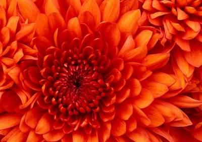 Chrysanthemum_NL