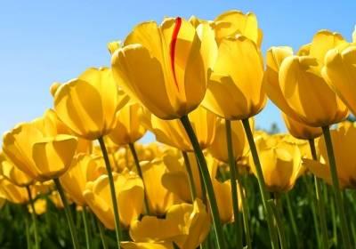 Tulips_NL